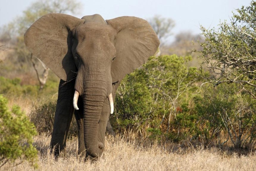 Kiedy słonie milkną w buszu